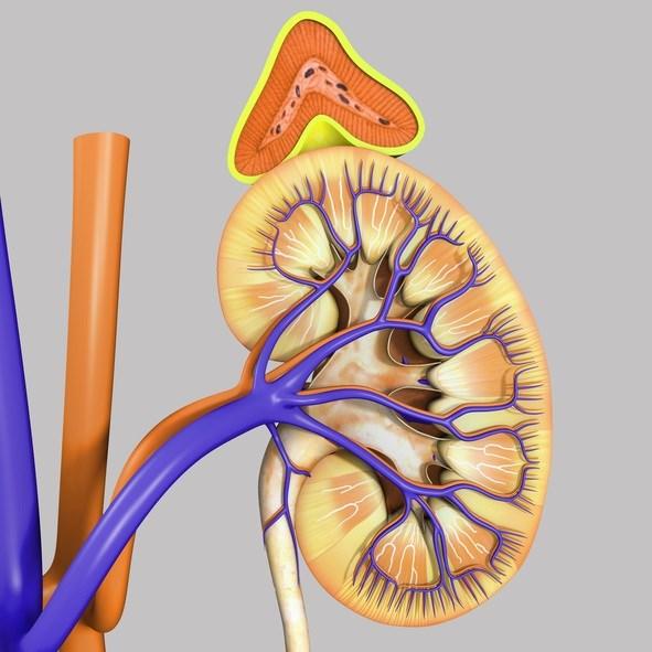 The Adrenal Gland: The Forgotten Urologic Organ